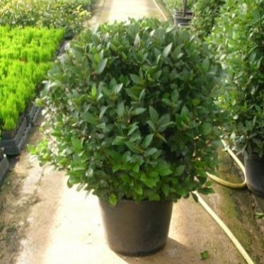 Ornamentales del oeste laurus nobilis laurel for Arbustos ornamentales de exterior