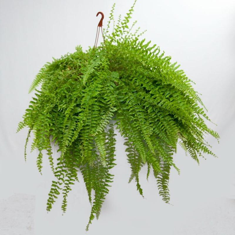Compras y venta de plantas ornamentales for Plantas ornamentales helechos
