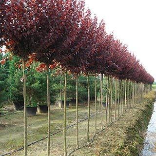 Ornamentales Del Oeste Prunus Pissardi Rboles