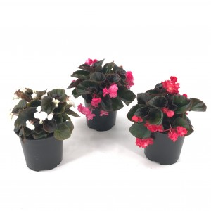 BEGONIA SIEMPREFLORIDA doble
