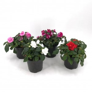 IMPATIENS FIESTA Doble