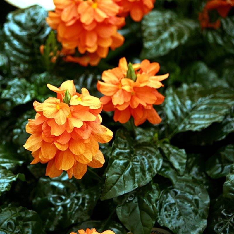 Ornamentales del oeste crossandra fortuna plantas de for Plantas ornamentales de exterior