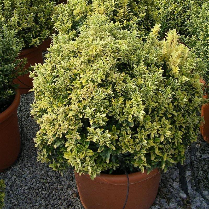 Ornamentales del oeste euonymus puchellus arbustos for Arbustos ornamentales de exterior
